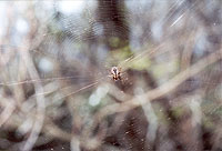 unidentified Araneidae