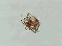 unidentified Theridiidae